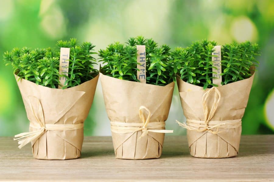 three pots of thyme wrapped in decorative brown paper
